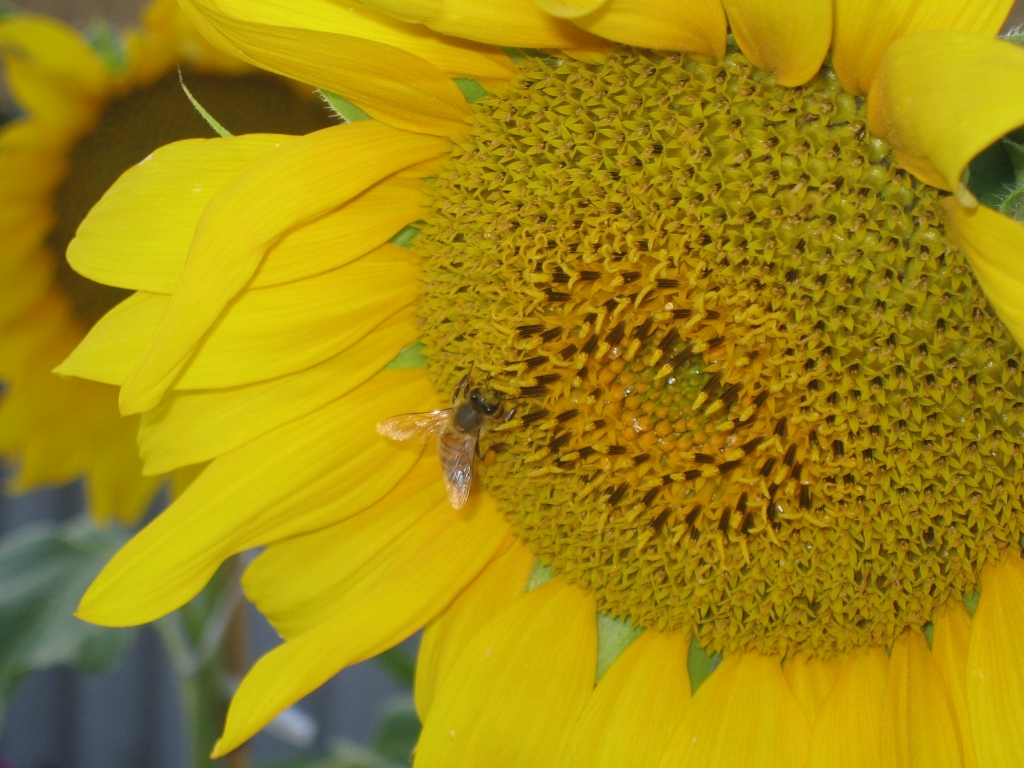 Wider view of a bee on the centre of a sunflower.
