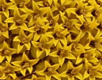 Very close view of part of the centre of a sunflower.