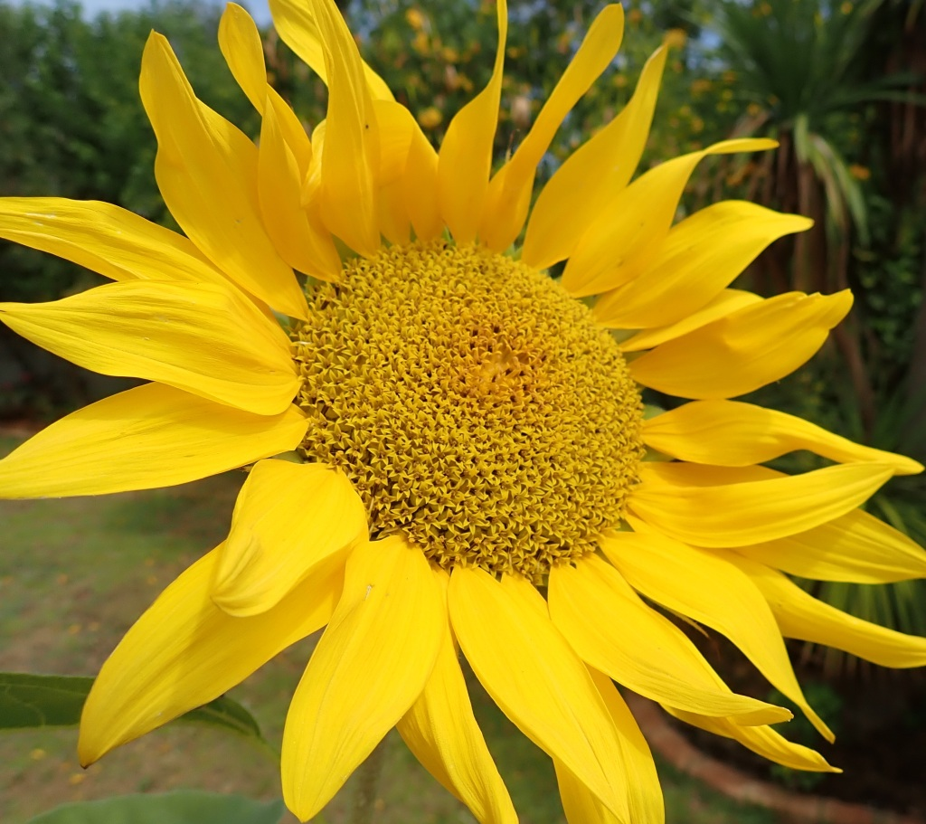 Beautiful image of large yellow sunflower.