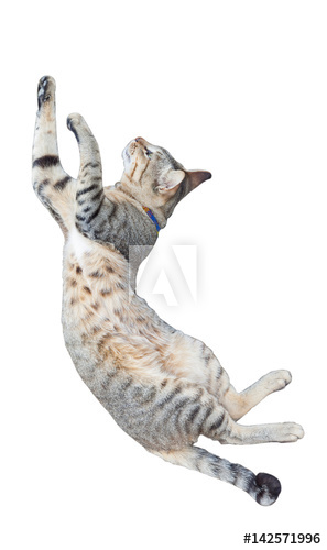 Cat in mid air as part of high leap.
