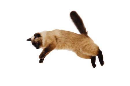 Persian Cat in mid-air of high leap.