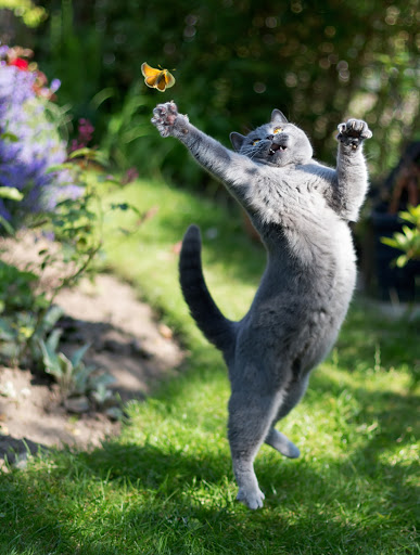 Cute cat leaping at a butterfly.
