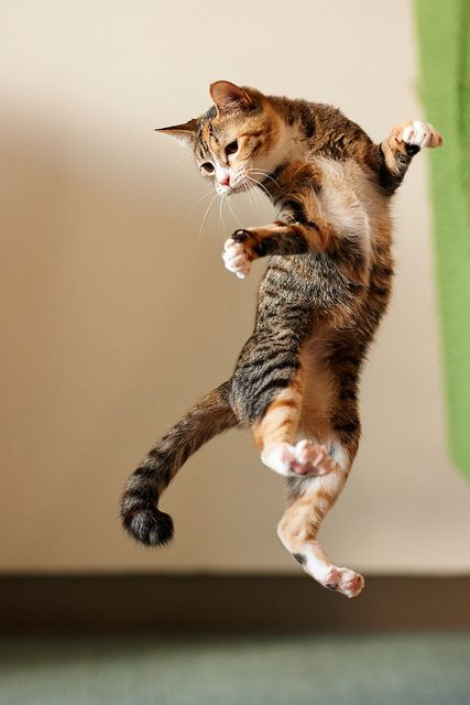 Cat twisting while descending from high leap.
