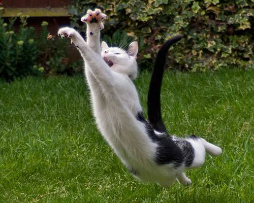 Cat mid way through long jump, with claws extended.