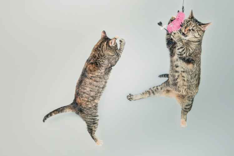 Two cute cats jumping for a toy.