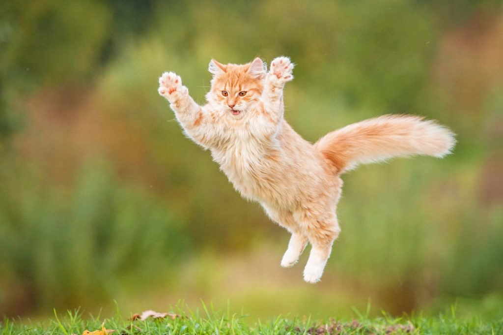Cute cat doing a huge jump.