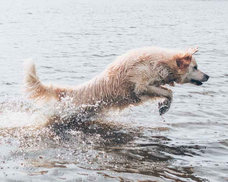Action image of a White dog leaping out of the water, looking as if at play.