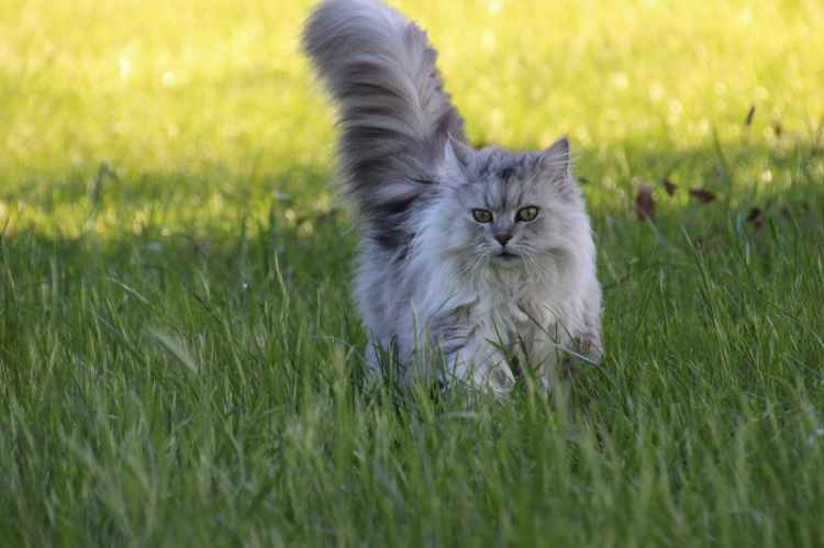 Cute Fluffy long furred cat running through long grass.