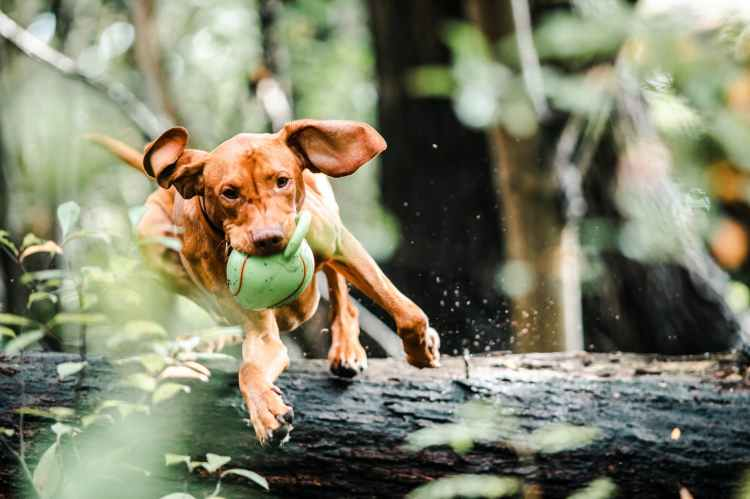 Action image of a medium size dog  with ball in it's mouth, jumping over a log in a woodlands scene.