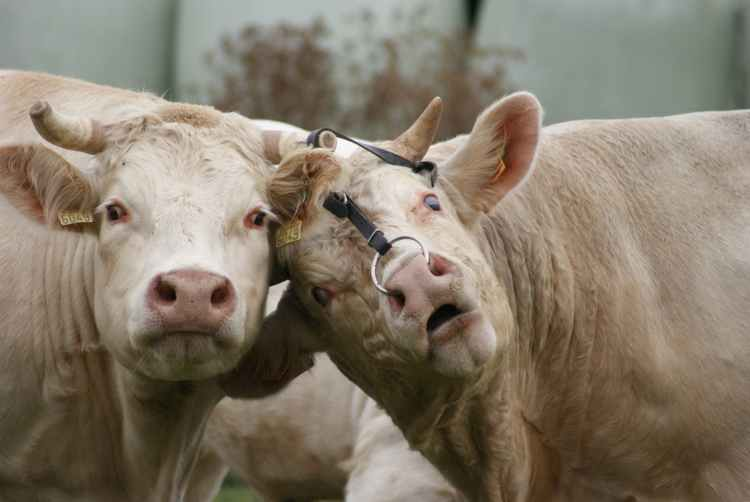 Funny joke image of two cows looking at camera.