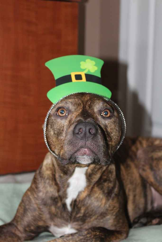 Dog with head band with a green Irish hat, for St Patrick's Day.