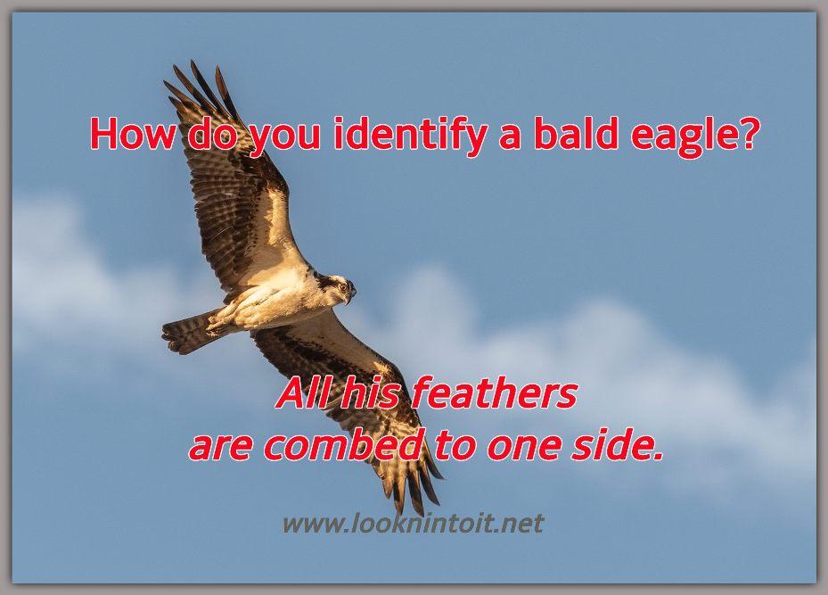 Meme bald eagle