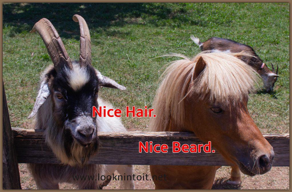 Meme goat and donkey