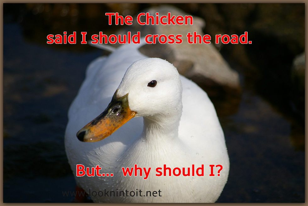 Meme duck