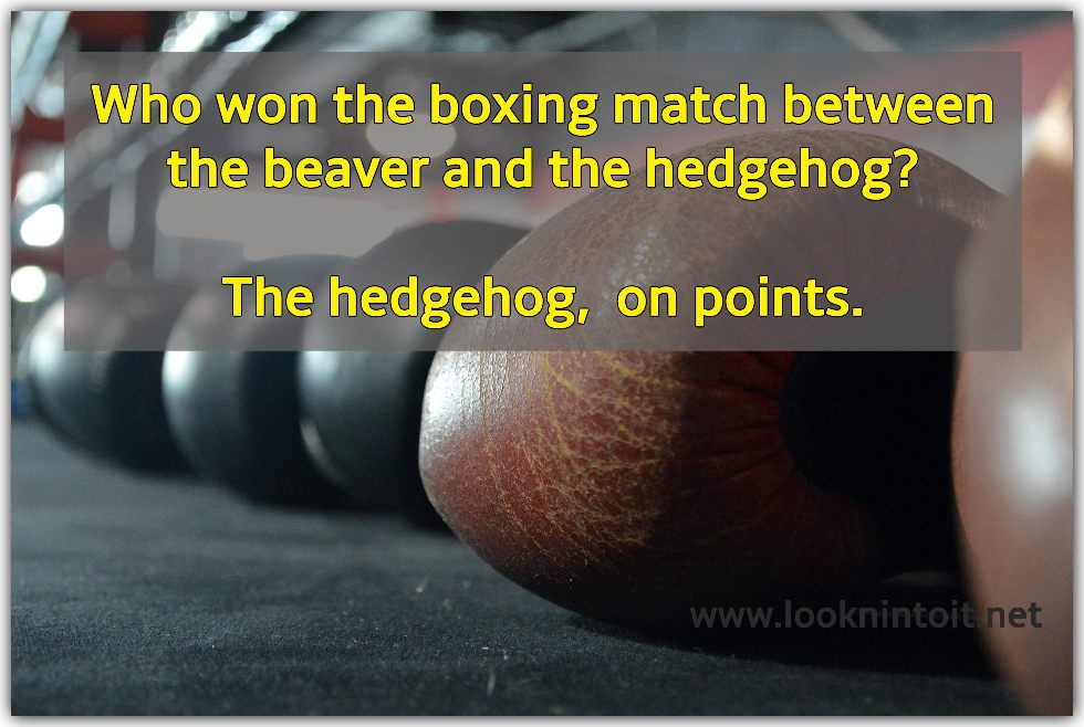Joke about who is the winner of a boxing match between a beaver and a hedgehog.